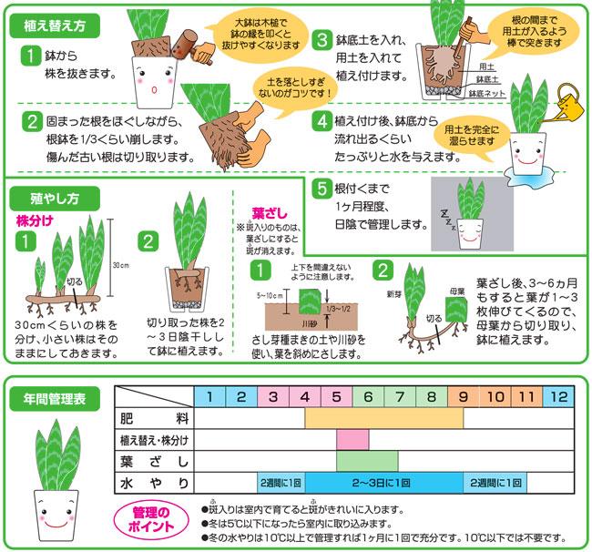 サンセベリアの栽培、植え替え培養土(専用土)