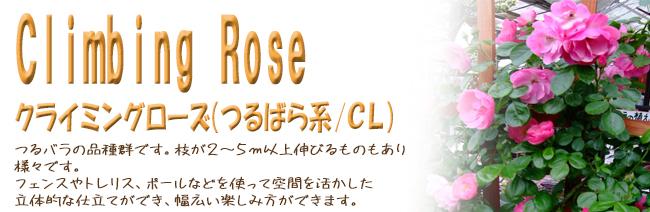 薔薇(バラ)の苗木の販売店【花育通販】クライミングローズ(つるばら系/CL)の苗木を販売しております。