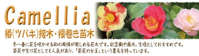 椿(ツバキ)の苗木の販売店、園芸お役立ちショップ「花育通販」です。