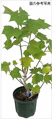 おわら風の盆(八尾)酔芙蓉(スイフヨウ・すいふよう)苗木の育て方