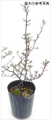 コロキヤの苗木を販売