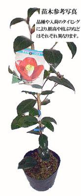 椿(ツバキ)苗木を販売
