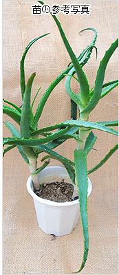 観葉植物(木立アロエ・アロエベラ)の苗の販売店