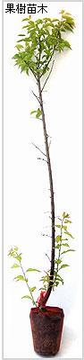 小梅(ウメ)の苗木の育て方