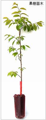 柿(カキ)苗木の育て方