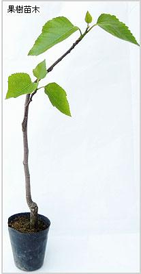 いちじく(イチジク)苗木の育て方