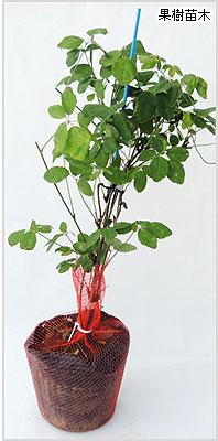 あけび(アケビ)苗木の育て方