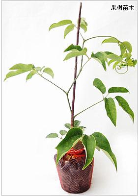 ムベ(むべ)苗木の育て方