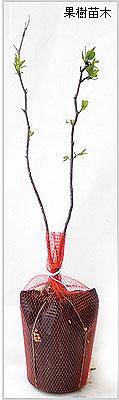 ナツメ(なつめ)苗木の育て方