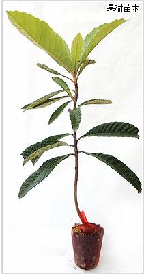 枇杷(びわ)苗木の育て方