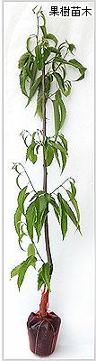 丹波栗(クリ)苗木の育て方