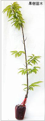 丹沢の栗(クリ)苗木の育て方