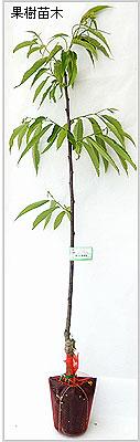 甘栗(クリ)苗木の育て方