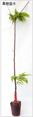 栗(クリ)苗木の育て方