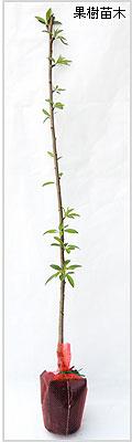 アーモンド苗木の育て方