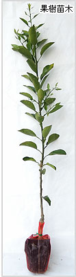 柑橘系の苗木の育て方