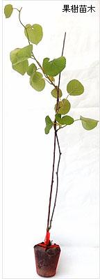 キウイフルーツ苗木の育て方