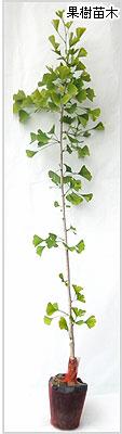 銀杏(ぎんなん)苗木の育て方
