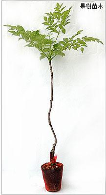 タラの芽(木)苗木の育て方