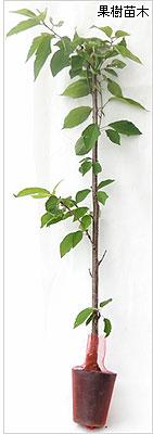 サクランボ苗木の育て方