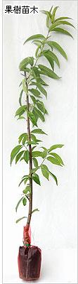 桃(もも)苗木の育て方