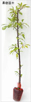 すもも(プラム)苗木の育て方