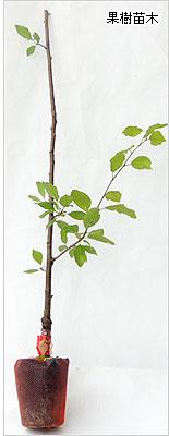 プルーン苗木の育て方