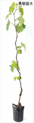 葡萄(ぶどう・ブドウ)苗木の育て方