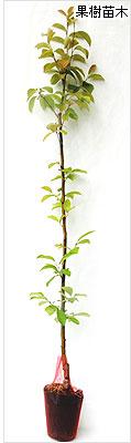 花梨(かりん・カリン)苗木の育て方