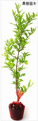ザクロ苗木の育て方