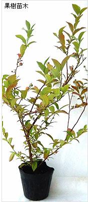 ブルーベリー苗木の育て方