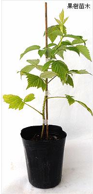 ラズベリー苗木の育て方