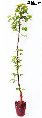 杏(あんず)苗木の育て方