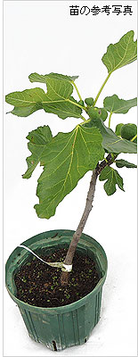 いちじく(イチジク)の苗木の育て方