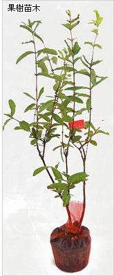 ハスカップの苗木の育て方