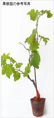 巨峰・デラウェア(葡萄・ブドウ)の苗木の育て方