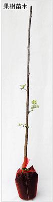 山椒(さんしょう)の苗木の育て方