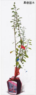 クコ(枸杞)の苗木の育て方