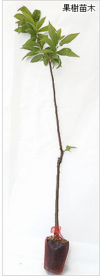 栗(クリ・くり)の苗木の育て方