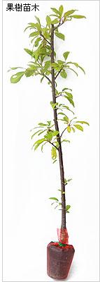 桃(モモ・もも)苗木の育て方