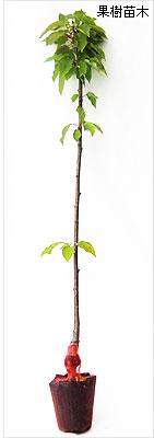 さくらんぼ(サクランボ)苗木の育て方