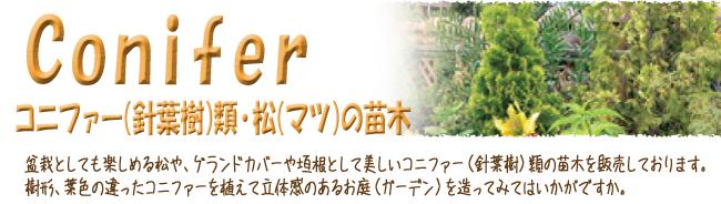 コニファー(針葉樹)・松(マツ)苗木の販売店【花育通販】です。