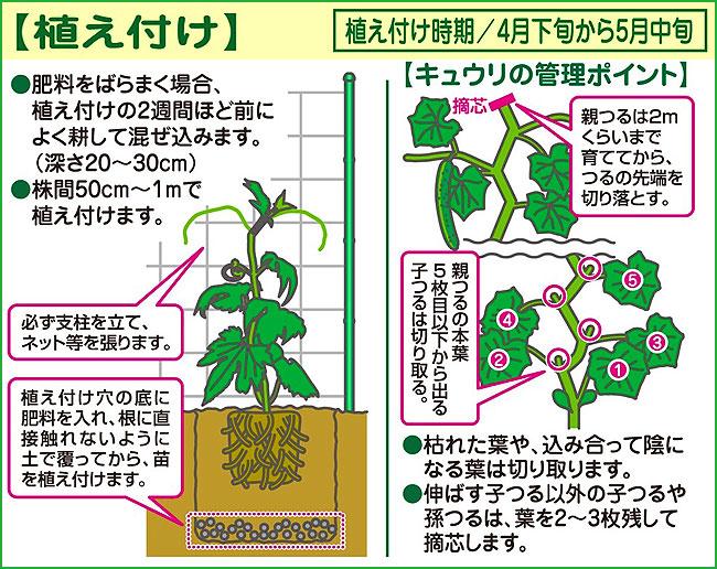 家庭菜園(園芸)のキュウリ(きゅうり)苗の販売店