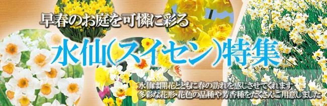 水仙(スイセン)球根の販売店【花育通販】