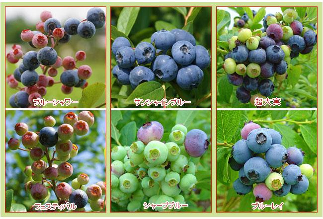 家庭菜園・ベランダガーデン用のブルーベリー栽培セットを販売