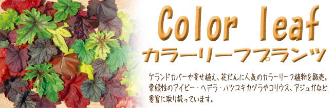 花苗・宿根草・多年草の販売店【花育通販】カラーリーフを販売しています