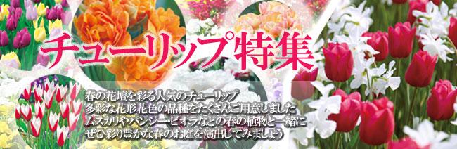 チューリップ球根の販売店【花育通販】