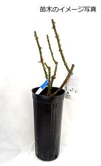 薔薇(バラ)苗木の販売店