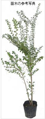 プリペットの苗木を販売
