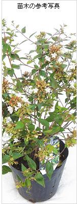 アベリアの苗木を販売